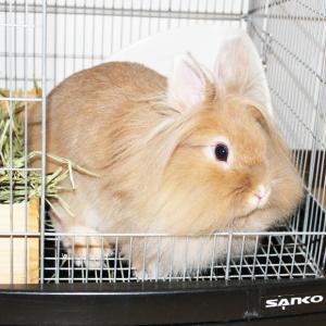 茨城県水戸市にあるウサギ販売店「プティラパン」 お泊りウサギさん(2020,2,22)