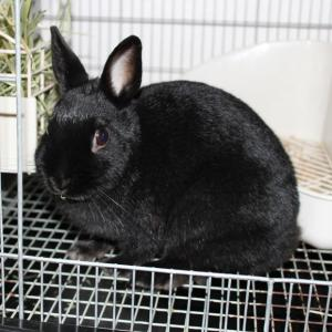茨城県水戸市にあるウサギ販売店「プティラパン」 お泊りウサギさん(2020,2,24)