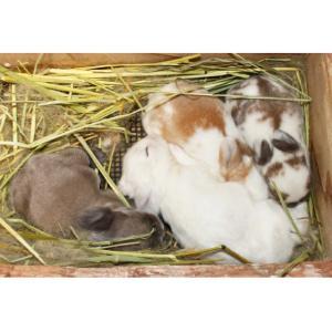 茨城県水戸市にあるウサギ販売店「プティラパン」 ロップ『なな』ベビー 2/24生③