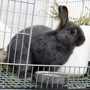茨城県水戸市にあるウサギ販売店「プティラパン」 ネザーランド『三毛』ベビー 12/13生⑩