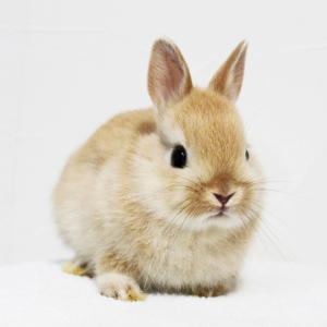 茨城県水戸市にあるウサギ販売店「プティラパン」 ネザーランド『ピルクル』ベビー 2/11生⑥