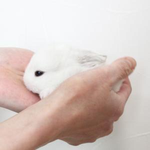 茨城県水戸市にあるウサギ販売店「プティラパン」 ロップ『なな』ベビー 2/24生④