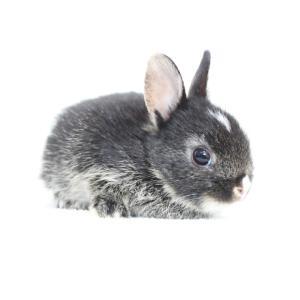 茨城県水戸市にあるウサギ販売店「プティラパン」 ネザーランド『桜』ベビー 2/10生⑥