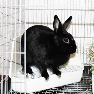 茨城県水戸市にあるウサギ販売店「プティラパン」 お泊りウサギさん(2020,3,13)