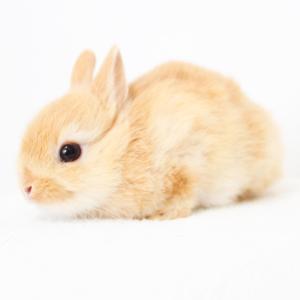 茨城県水戸市にあるウサギ販売店「プティラパン」 ネザーランド『ピルクル』ベビー 2/11生⑦