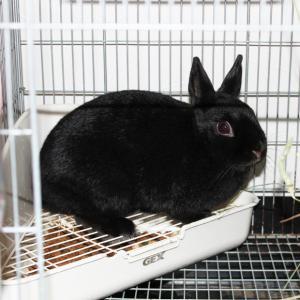 茨城県水戸市にあるウサギ販売店「プティラパン」 お泊りウサギさん(2020,3,16)