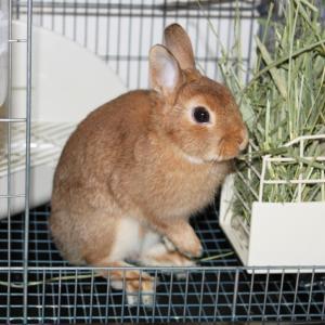 茨城県水戸市にあるウサギ販売店「プティラパン」 お泊りウサギさん(2020,3,18)
