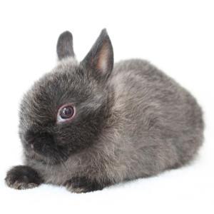 茨城県水戸市にあるウサギ販売店「プティラパン」 ネザーランド『桜』ベビー 2/18生⑤