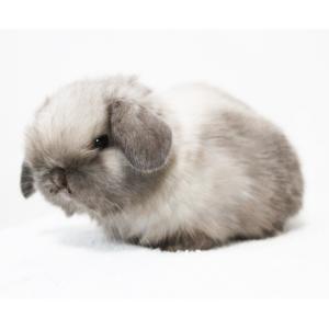 茨城県水戸市にあるウサギ販売店「プティラパン」 ロップ『なな』ベビー 2/24生⑥