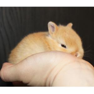 茨城県水戸市にあるウサギ販売店「プティラパン」 ネザーランド『なっちゃん』ベビー 3/7生③