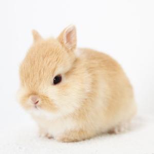 茨城県水戸市にあるウサギ販売店「プティラパン」 ネザーランド『なっちゃん』ベビー 3/7生④