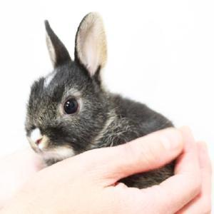 茨城県水戸市にあるウサギ販売店「プティラパン」 ネザーランド『桜』ベビー 2/10生⑧