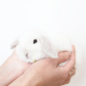 茨城県水戸市にあるウサギ販売店「プティラパン」 ロップ『なな』ベビー 2/24生⑦