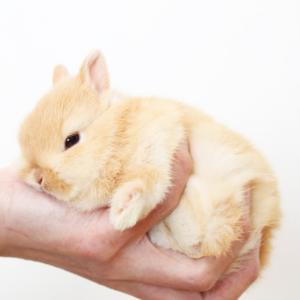 茨城県水戸市にあるウサギ販売店「プティラパン」 ネザーランド『なっちゃん』ベビー 3/7生⑤