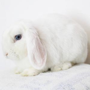 茨城県水戸市にあるウサギ販売店「プティラパン」 新人ロップパパウサギ『あおい』のご紹介