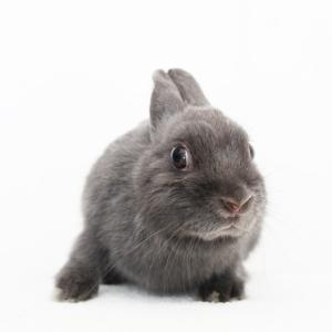 茨城県水戸市にあるウサギ販売店「プティラパン」 ネザーランド『三毛』ベビー 12/13生⑨