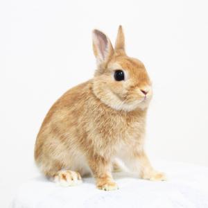 茨城県水戸市にあるウサギ販売店「プティラパン」 新人ネザーパパウサギ『けんた』のご紹介