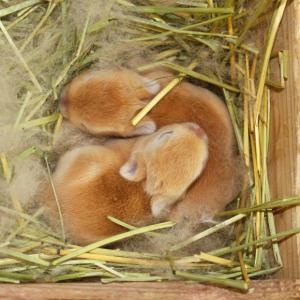 茨城県水戸市にあるウサギ販売店「プティラパン」 ネザーランド『キャンディー』ベビー 3/27生④