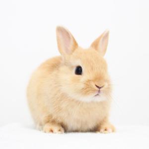 茨城県水戸市にあるウサギ販売店「プティラパン」 ネザーランド『いっちゃん』ベビー 5/5生⑨