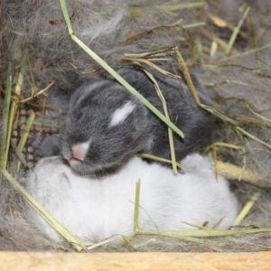 茨城県水戸市にあるウサギ販売店「プティラパン」 ネザーランド『三毛』ベビー 5/27生