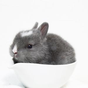 茨城県水戸市にあるウサギ販売店「プティラパン」 ネザーランド『三毛』ベビー 5/27生④