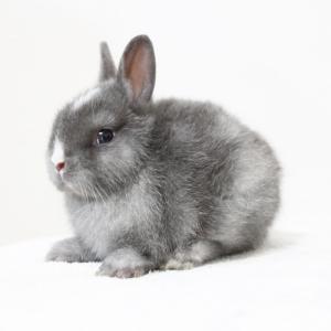 茨城県水戸市にあるウサギ販売店「プティラパン」 ネザーランド『三毛』ベビー 5/27生⑤