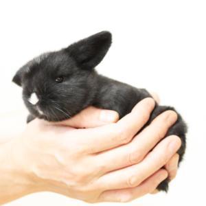 茨城県水戸市にあるウサギ販売店「プティラパン」 ロップ『ラテ』ベビー 6/8生③