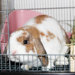茨城県水戸市にあるウサギ販売店「プティラパン」 お泊りウサギさん(2020,6,23)