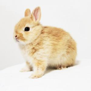 茨城県水戸市にあるウサギ販売店「プティラパン」 ネザーランド『キャンディー』ベビー 6/8生⑤