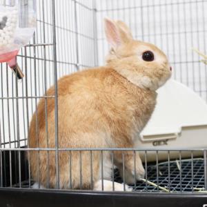 茨城県水戸市にあるウサギ販売店「プティラパン」 お泊りウサギさん(2020,7,4)