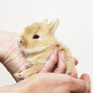 茨城県水戸市にあるウサギ販売店「プティラパン」 ネザーランド『クルミ』ベビー 7/1生③