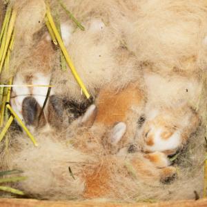茨城県水戸市にあるウサギ販売店「プティラパン」 ロップ『なな』ベビー 7/6生③