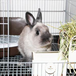 茨城県水戸市にあるウサギ販売店「プティラパン」 お泊りウサギさん(2020,7,24)