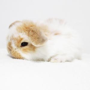 茨城県水戸市にあるウサギ販売店「プティラパン」 ロップ『なな』ベビー 7/6生⑤