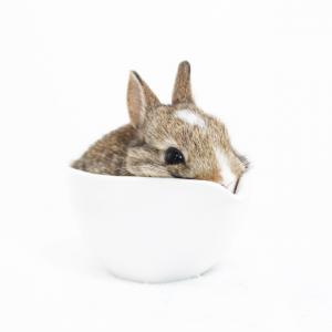 茨城県水戸市にあるウサギ販売店「プティラパン」 ネザーランド『桜』ベビー 7/11生⑥
