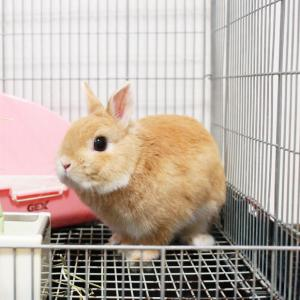 茨城県水戸市にあるウサギ販売店「プティラパン」 お泊りウサギさん(2020,8,12)