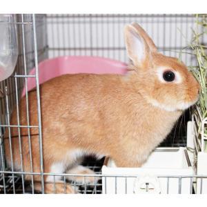 茨城県水戸市にあるウサギ販売店「プティラパン」 お泊りウサギさん(2020,9,19)