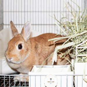 茨城県水戸市にあるウサギ販売店「プティラパン」 お泊りウサギさん(2020,9,21)
