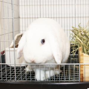 茨城県水戸市にあるウサギ販売店「プティラパン」 お泊りウサギさん(2020,9,22)