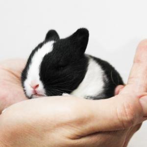 茨城県水戸市にあるウサギ販売店「プティラパン」 ネザーランド『ノワ』ベビー 9/13生②