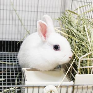 茨城県水戸市にあるウサギ販売店「プティラパン」 お泊りウサギさん(2020,9,28)