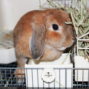 茨城県水戸市にあるウサギ販売店「プティラパン」 お泊りウサギさん(2020,10,31)