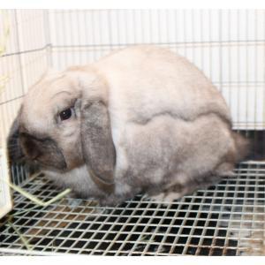 茨城県水戸市にあるウサギ販売店「プティラパン」 お泊りウサギさん(2020,11,28)