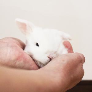 茨城県水戸市にあるウサギ販売店「プティラパン」 ロップ『ラテ』ベビー 11/10生④
