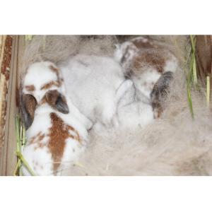 茨城県水戸市にあるウサギ販売店「プティラパン」 ロップ『なな』ベビー 12/10生④