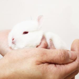 茨城県水戸市にあるウサギ販売店「プティラパン」 ネザーランド『ノコ』ベビー 12/6生④