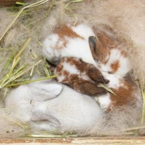 茨城県水戸市にあるウサギ販売店「プティラパン」 ロップ『なな』ベビー 12/23生⑤