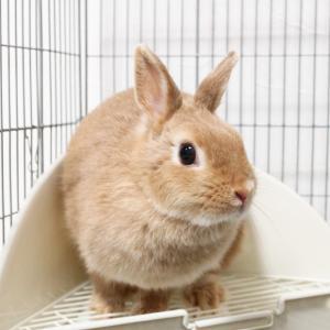 茨城県水戸市にあるウサギ販売店「プティラパン」 お泊りウサギさん(2020,12,25)