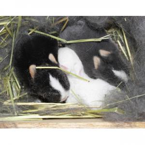 茨城県水戸市にあるウサギ販売店「プティラパン」 ネザーランド『桜』ベビー 12/16生③
