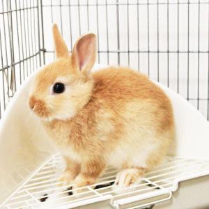 茨城県水戸市にあるウサギ販売店「プティラパン」 お泊りウサギさん(2020,12,26)